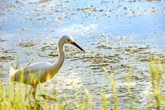 Jeune héron blanc marchant par les eaux Photographie stock libre de droits