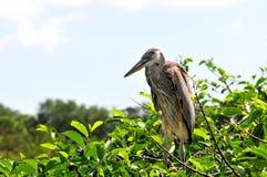 Jeune héron de grand bleu dans le nid Photo stock