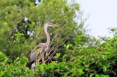 Jeune héron de grand bleu dans le nid dans le marécage Image stock