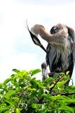 Jeune héron et adulte de grand bleu lissant dans le nid Photo stock