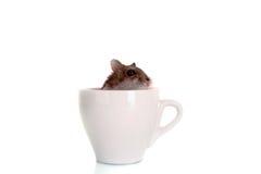 Jeune hamster dans la cuvette blanche d'isolement Images libres de droits