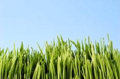 Jeune herbe Image libre de droits