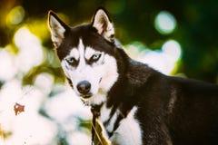 Jeune herbe heureuse de Husky Eskimo Dog Sitting In Photo stock