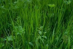 Jeune herbe verte image libre de droits