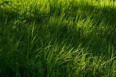 Jeune herbe verte photo libre de droits