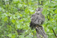 Jeune hibou d'Ural sur un arbre photos stock