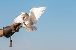 Jeune hibou de grange pendant une exposition de vol de fauconnerie à Dubaï, EAU photo libre de droits