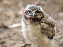 Jeune hibou de trou Photos libres de droits