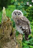 Jeune hibou fauve photo stock