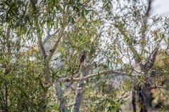 jeune hibou Perle-repéré sur une branche image stock
