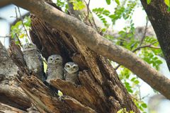 Jeune hibou repéré - brama d'Owl Athene nous regardant en nature chez Wa Photographie stock libre de droits