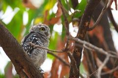Jeune hibou repéré - brama d'Owl Athene nous regardant en nature chez Wa Photographie stock