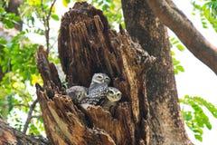 Jeune hibou repéré - brama d'Owl Athene nous regardant en nature chez Wa Image libre de droits