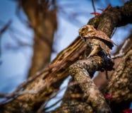 Jeune hibou repéré sur l'arbre photo libre de droits