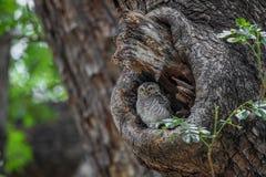 Jeune hibou repéré sur un trou d'arbre dans le temple photographie stock