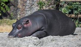 Jeune hippopotame 3 Images stock