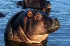 Jeune hippopotame Image libre de droits