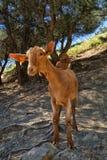 Jeune hircus curieux d'aegagrus de Capra de chèvre de Malaga sur un flanc de coteau espagnol photos libres de droits