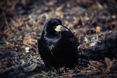 Jeune hiver noir LIFE-Nature froid de corneille photos stock