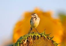 Jeune hochequeue jaune posant pour moi sur la tête d'un tournesol de floraison Images stock