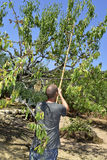 Jeune homme moissonnant des amandes d'un arbre d'amande Images libres de droits