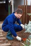 Jeune homme plantant l'ail image stock