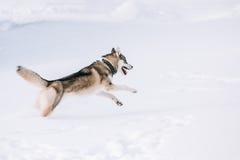 Jeune Husky Dog Play, course extérieure dans la neige, hiver Photo stock