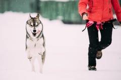 Jeune Husky Dog Play And Fast courant la femme proche extérieure dans la neige Images libres de droits