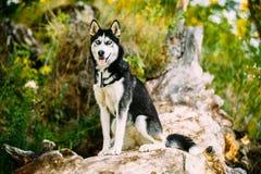 Jeune Husky Dog Sitting On Trunk d'arbre tombé par A Été photos stock