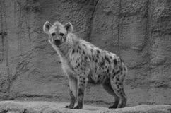 Jeune hyène Photos stock