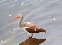 Jeune IBIS dans les eaux de rivière Image stock