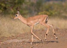 Jeune impala Photographie stock libre de droits