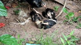 Jeune indigène de poulet de la Thaïlande banque de vidéos