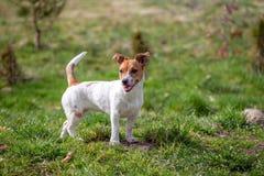 Jeune Jack Russell Terrier sur l'herbe photos stock