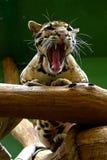 Jeune jaguar, animaux amicaux au zoo de Prague Images stock