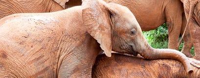Jeune jeu d'éléphants image stock