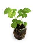 Jeune jeune plante de la fraise dans le comprimé tourbeux Images libres de droits