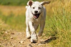 Jeune joli chiot doux de chien de Labrador fonctionnant sur le champ photo libre de droits
