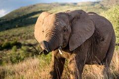Jeune jouer d'éléphant Image libre de droits