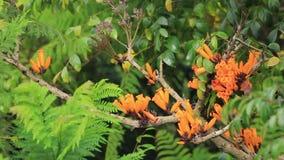 jeune 4k de sunbird brun-throated étant perché sur la branche dans la pleine fleur banque de vidéos