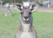 Jeune kangourou curieux Photo stock