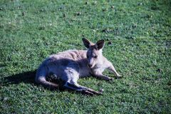 Jeune kangourou gris se trouvant sur l'herbe images libres de droits