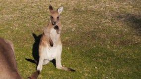 Jeune kangourou mignon banque de vidéos