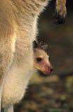 Jeune kangourou mignon dans la poche Image libre de droits