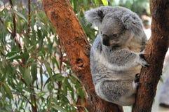 Jeune koala Photo libre de droits