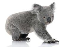 Jeune koala, cinereus de Phascolarctos, 14 mois Image libre de droits