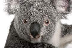 Jeune koala, cinereus de Phascolarctos, 14 mois Photographie stock