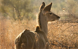 Jeune Kudu Image libre de droits
