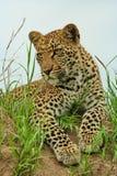 Jeune léopard Photos libres de droits