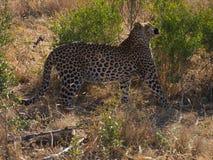 Jeune léopard mâle Photo stock